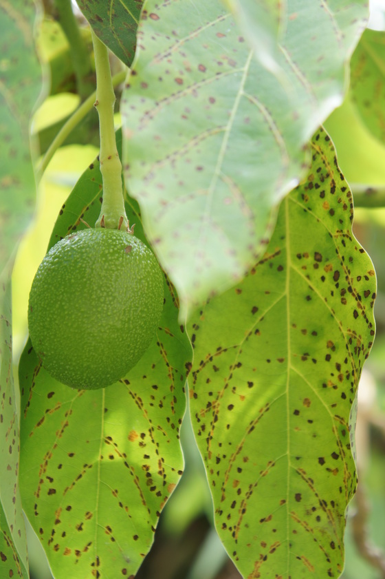 Avacado Tree Fruiting