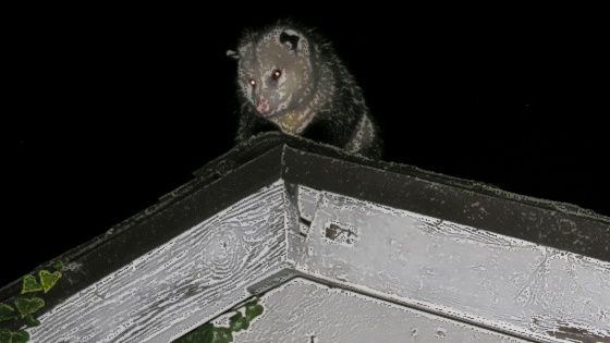 Ceiling_Possum_Is_Watching_You.JPG