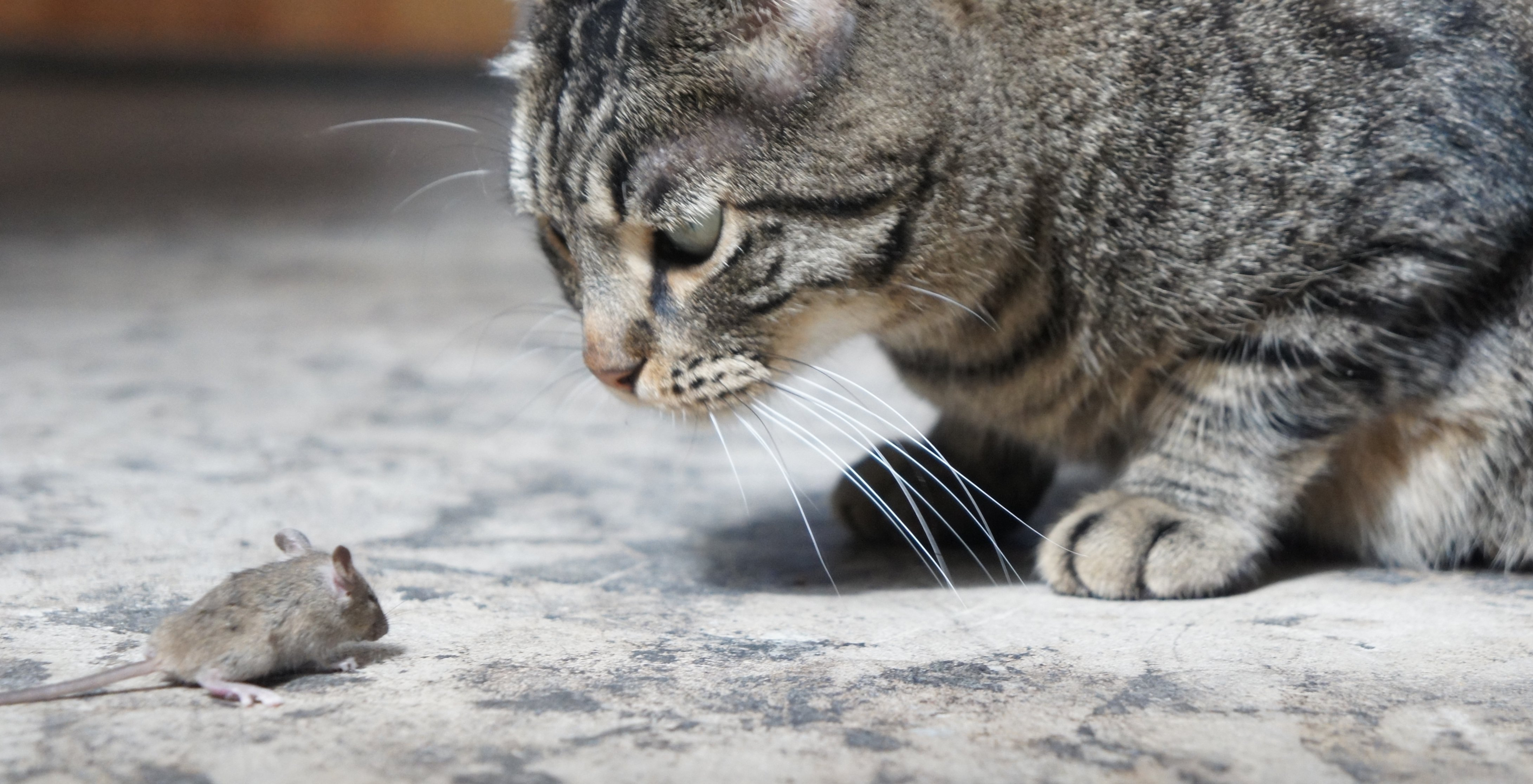 Cat Brought Live Mouse In House