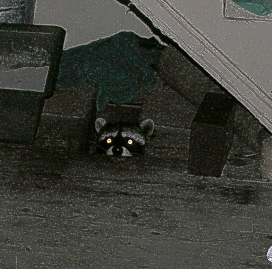 Floor_racoon_is_Watching_You.JPG